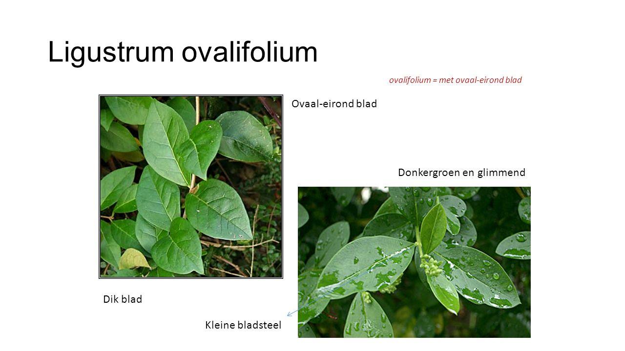 Ligustrum ovalifolium ovalifolium = met ovaal-eirond blad Ovaal-eirond blad Donkergroen en glimmend Kleine bladsteel Dik blad