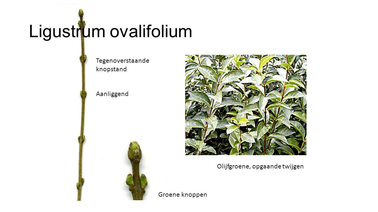 Ligustrum ovalifolium Olijfgroene, opgaande twijgen Tegenoverstaande knopstand Groene knoppen Aanliggend