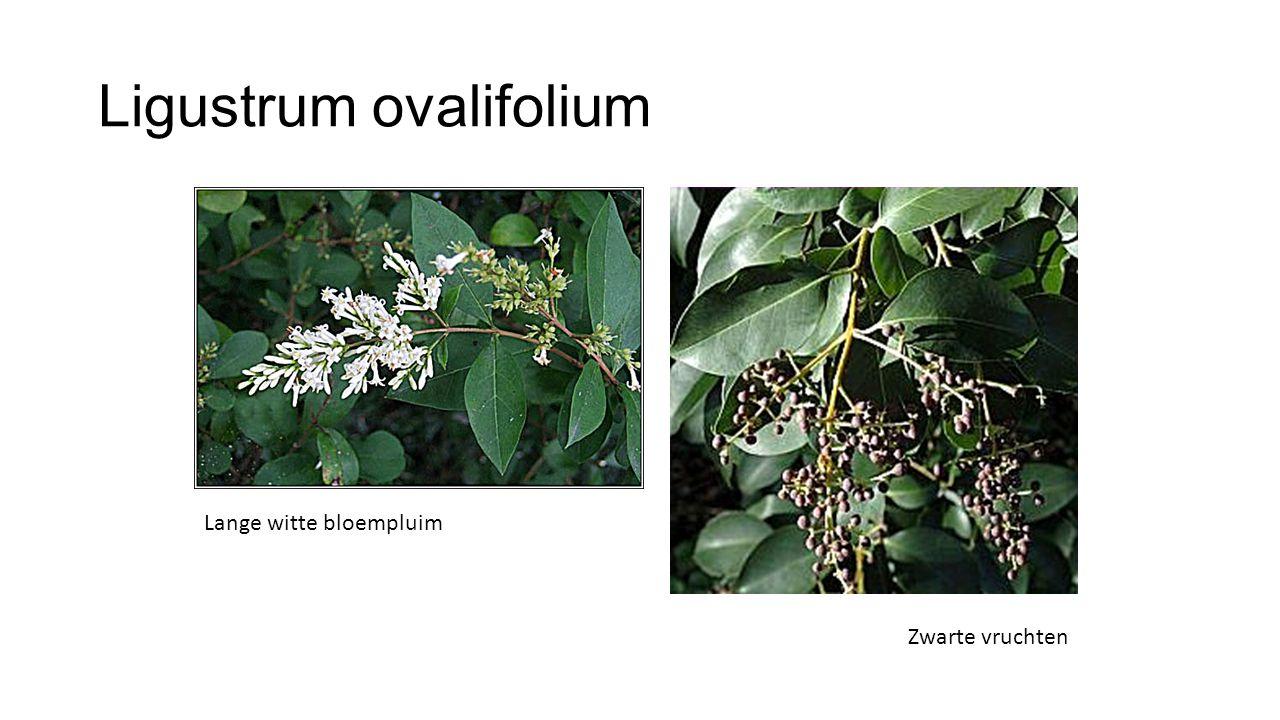 Ligustrum ovalifolium Lange witte bloempluim Zwarte vruchten