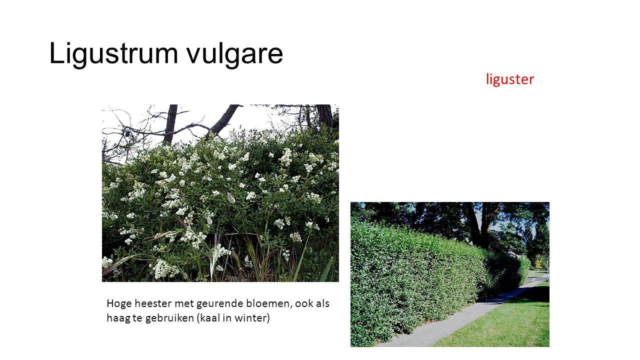 Ligustrum vulgare liguster Hoge heester met geurende bloemen, ook als haag te gebruiken (kaal in winter)