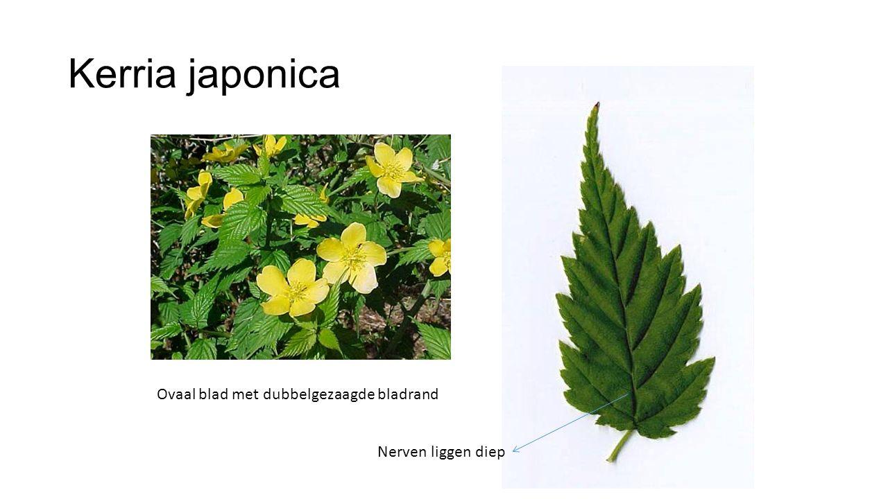Kerria japonica Ovaal blad met dubbelgezaagde bladrand Nerven liggen diep