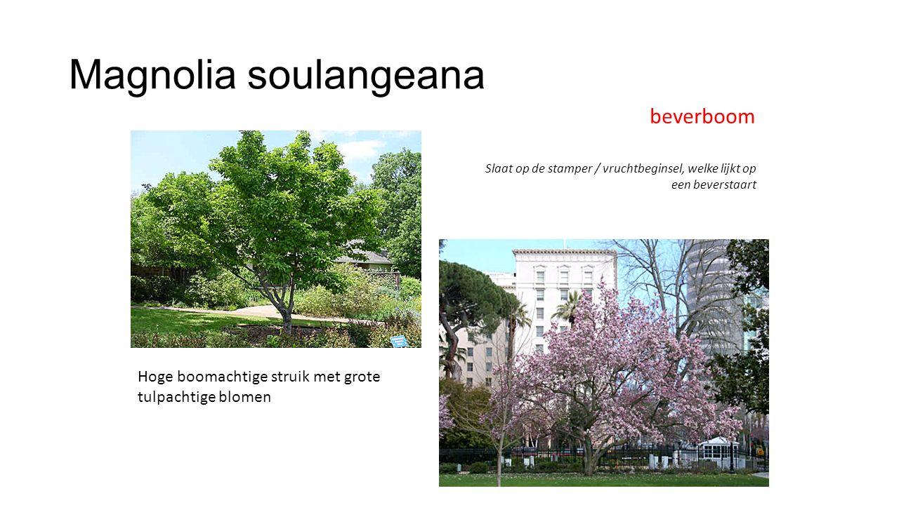 Magnolia soulangeana beverboom Slaat op de stamper / vruchtbeginsel, welke lijkt op een beverstaart Hoge boomachtige struik met grote tulpachtige blom