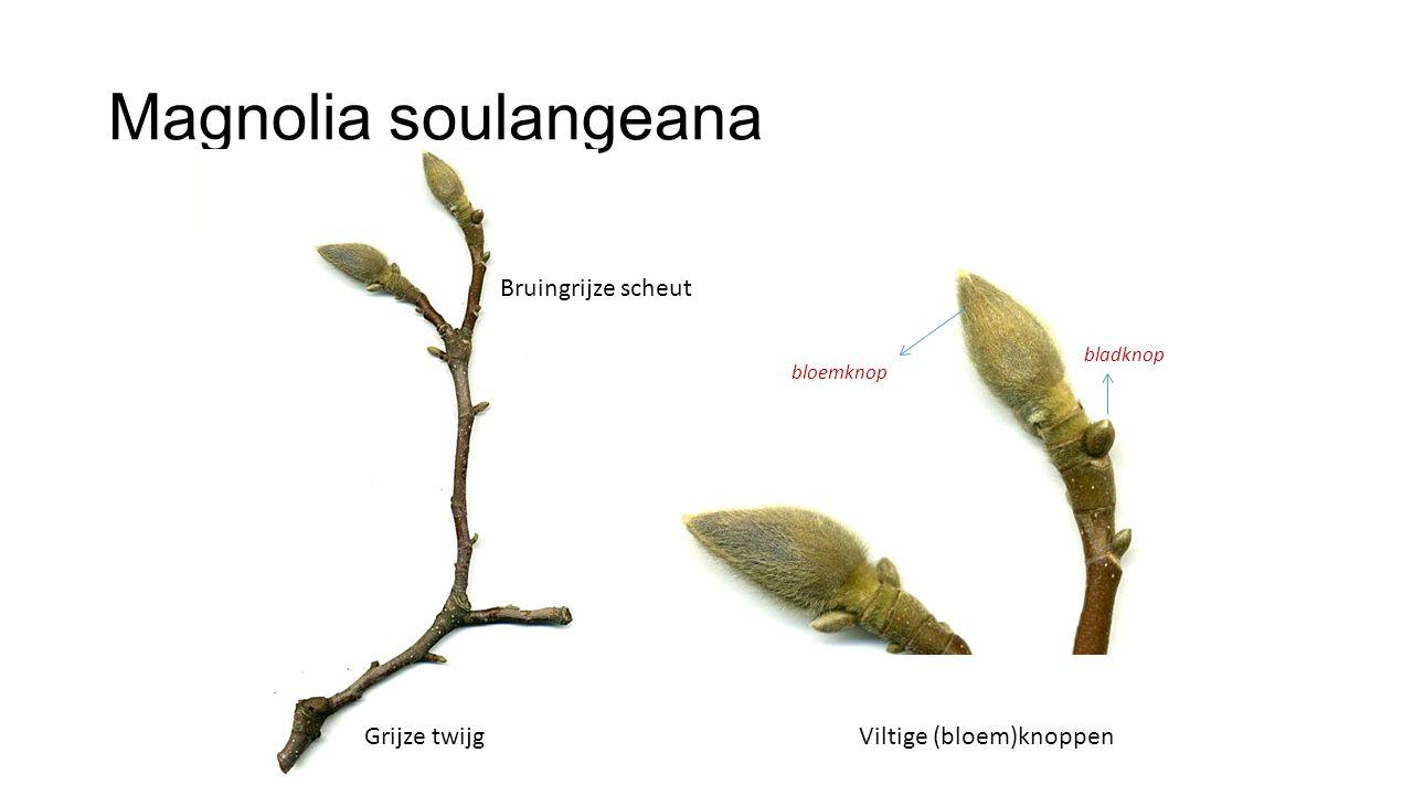 Magnolia soulangeana Grijze twijgViltige (bloem)knoppen bloemknop bladknop Bruingrijze scheut