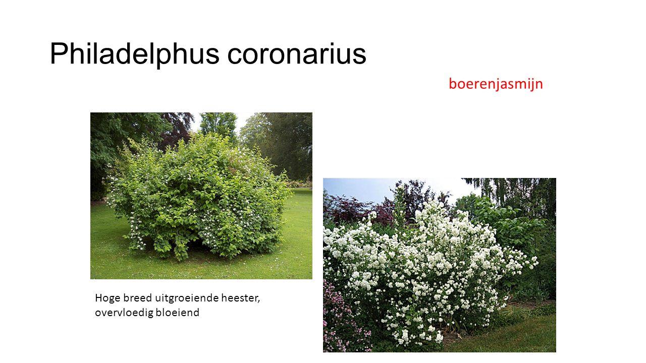 Philadelphus coronarius boerenjasmijn Hoge breed uitgroeiende heester, overvloedig bloeiend
