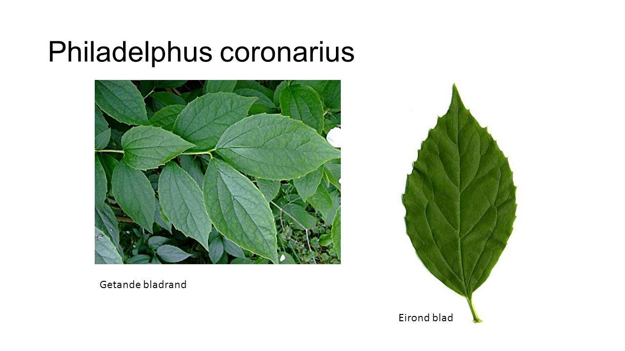 Philadelphus coronarius Eirond blad Getande bladrand