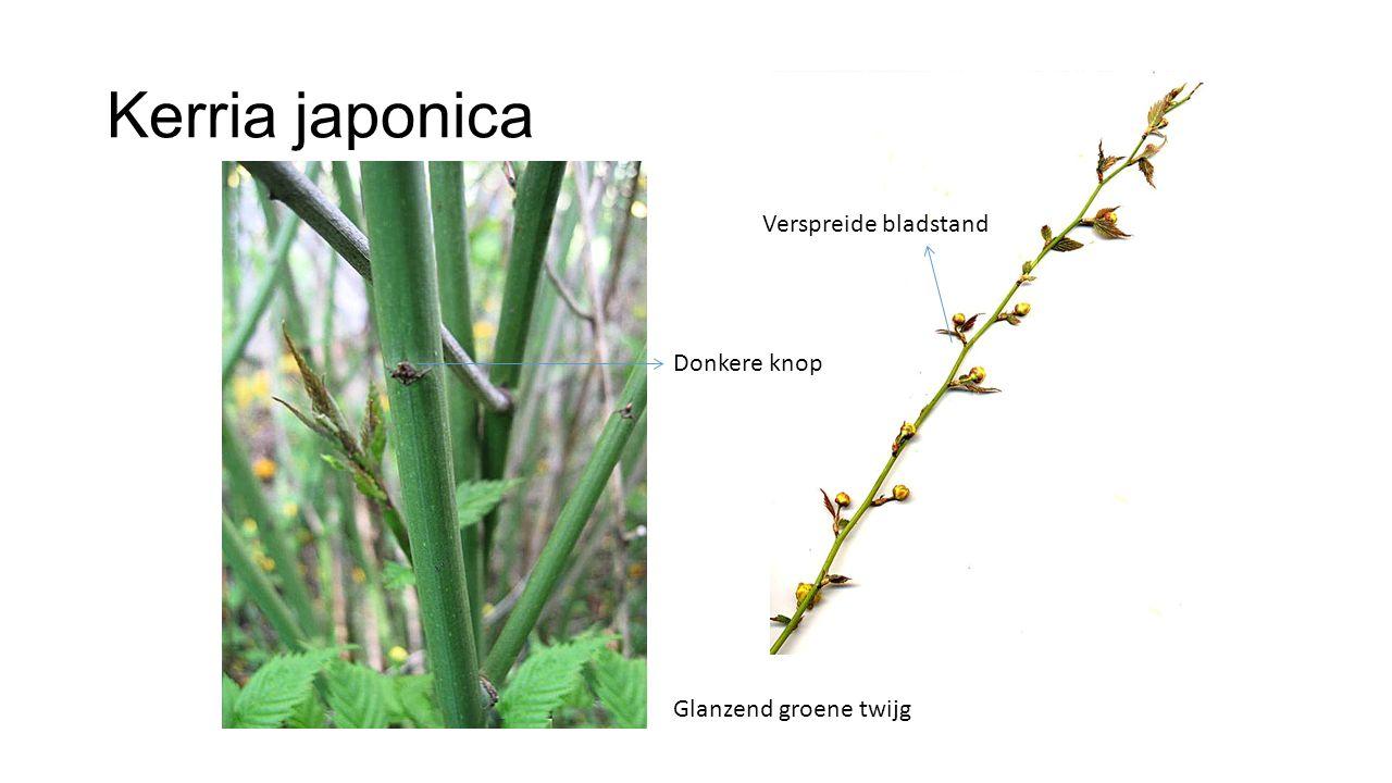 Kerria japonica Glanzend groene twijg Donkere knop Verspreide bladstand