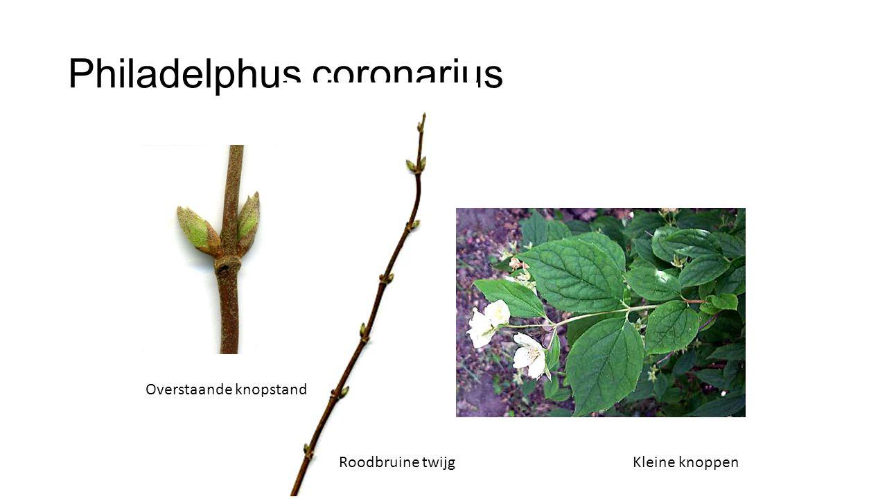 Philadelphus coronarius Roodbruine twijg Overstaande knopstand Kleine knoppen