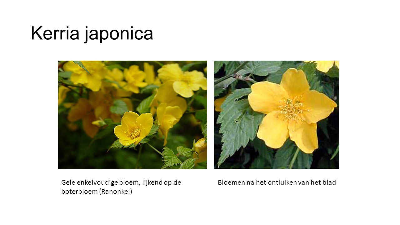Kerria japonica Gele enkelvoudige bloem, lijkend op de boterbloem (Ranonkel) Bloemen na het ontluiken van het blad