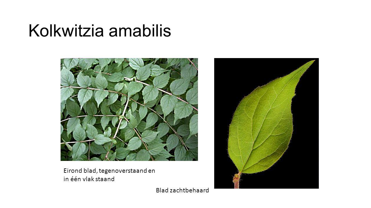 Kolkwitzia amabilis Eirond blad, tegenoverstaand en in één vlak staand Blad zachtbehaard