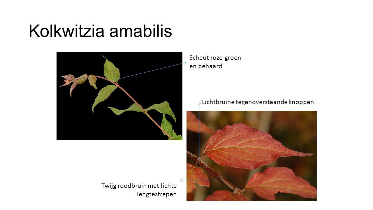 Kolkwitzia amabilis Scheut roze-groen en behaard Twijg roodbruin met lichte lengtestrepen Lichtbruine tegenoverstaande knoppen
