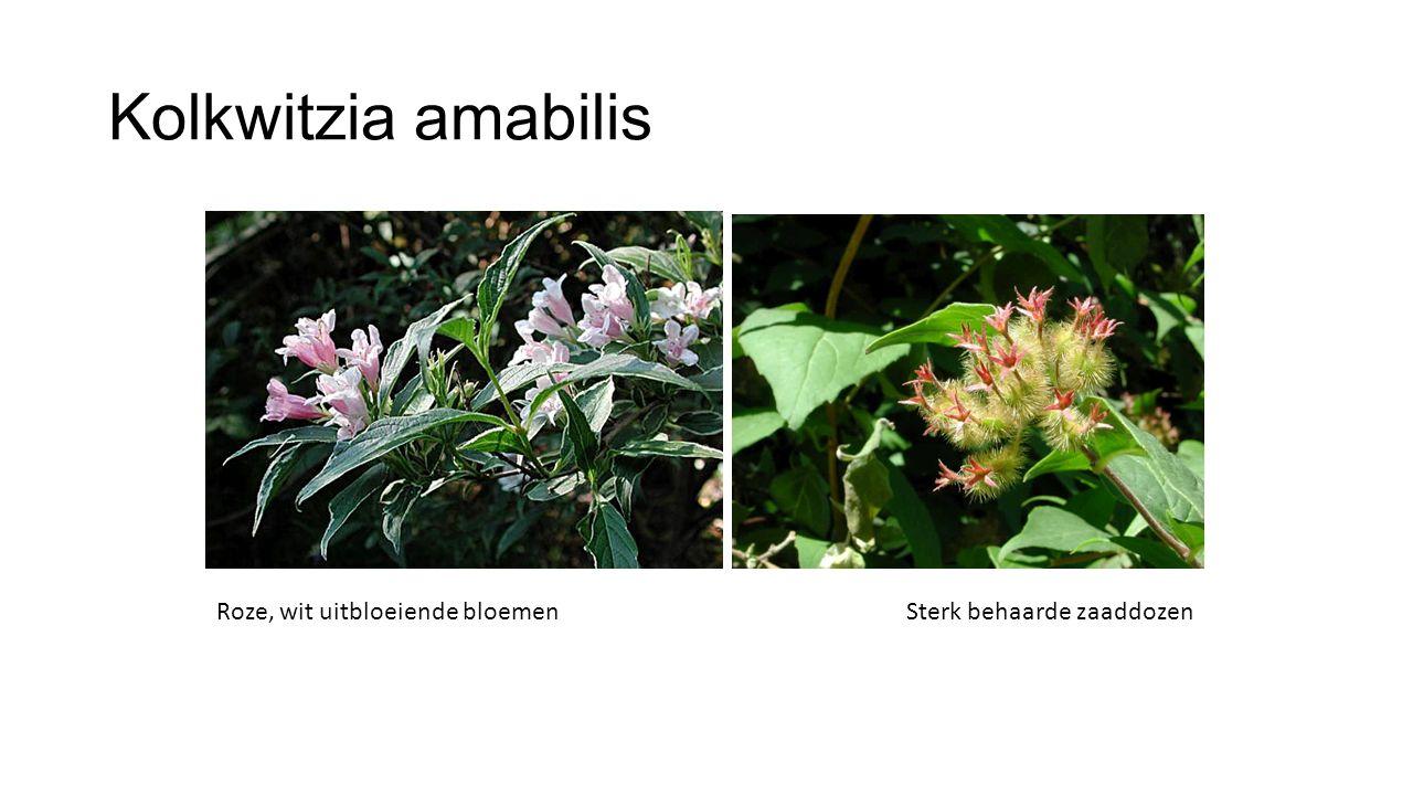 Kolkwitzia amabilis Roze, wit uitbloeiende bloemenSterk behaarde zaaddozen