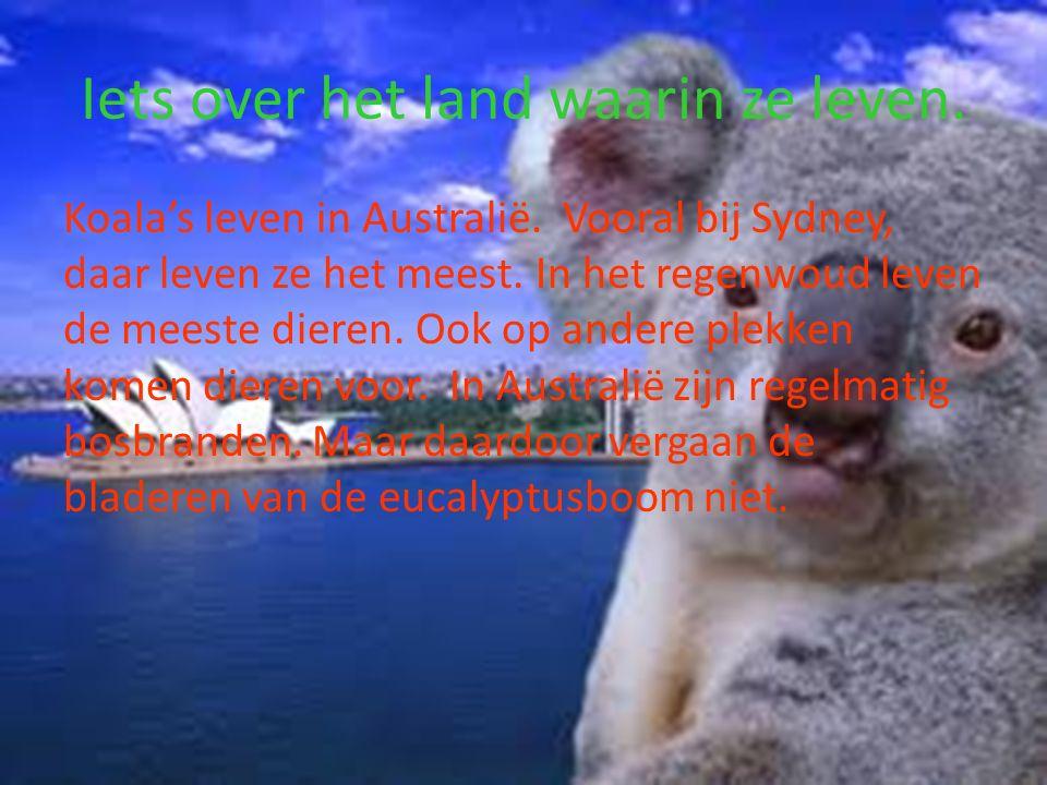 Iets over het land waarin ze leven.Koala's leven in Australië.