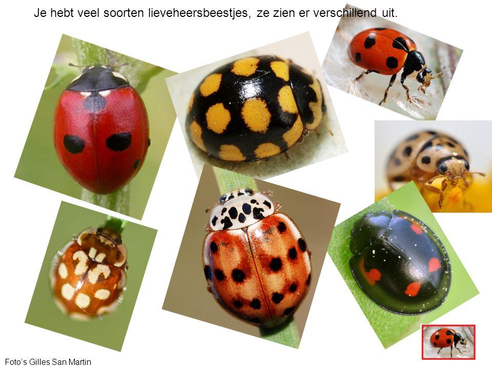 Foto's Gilles San Martin Je hebt veel soorten lieveheersbeestjes, ze zien er verschillend uit.