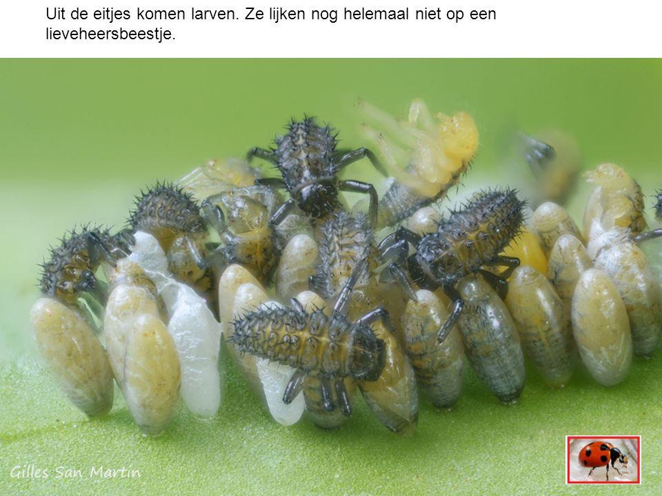 Hier zie je een larve.Hij heeft zes pootjes, maar geen vleugeltjes.