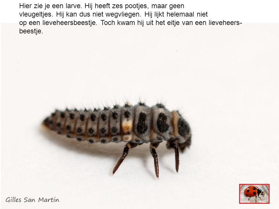 Hier zie je een larve. Hij heeft zes pootjes, maar geen vleugeltjes.