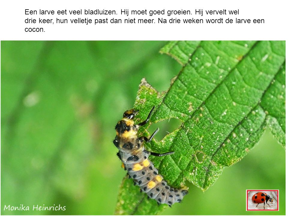 Een larve eet veel bladluizen. Hij moet goed groeien.