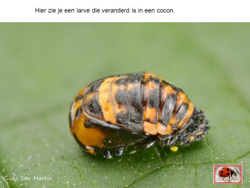 Hier zie je een larve die veranderd is in een cocon.