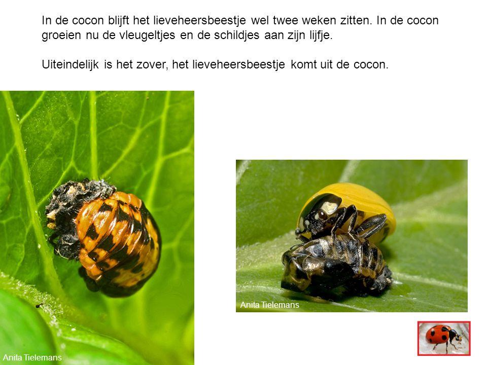 Anita Tielemans In de cocon blijft het lieveheersbeestje wel twee weken zitten.