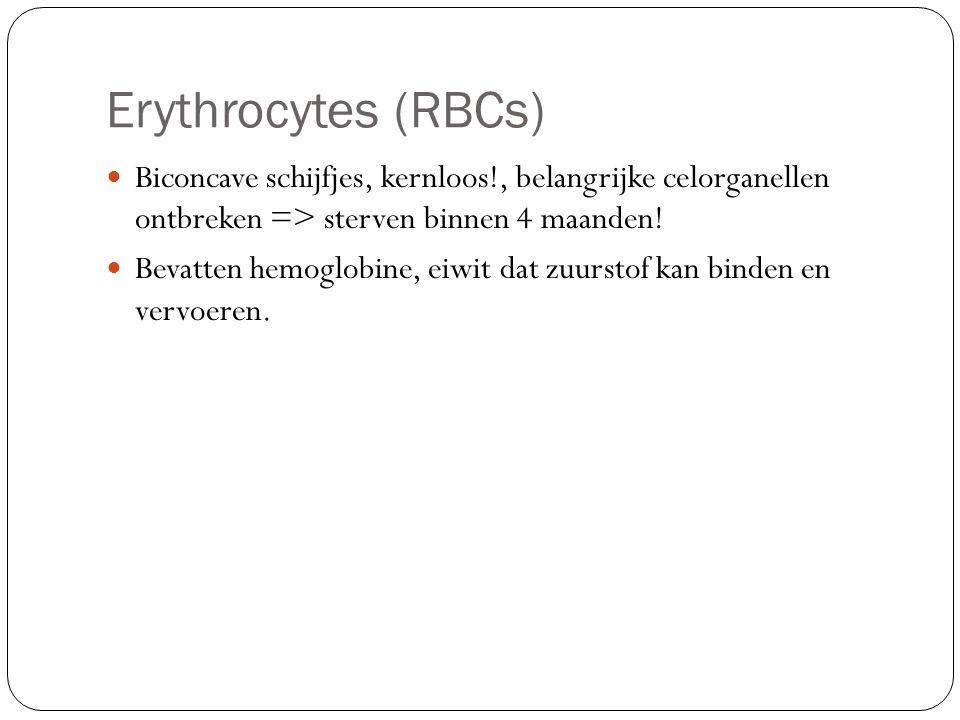 Erythrocytes (RBCs) Biconcave schijfjes, kernloos!, belangrijke celorganellen ontbreken => sterven binnen 4 maanden! Bevatten hemoglobine, eiwit dat z