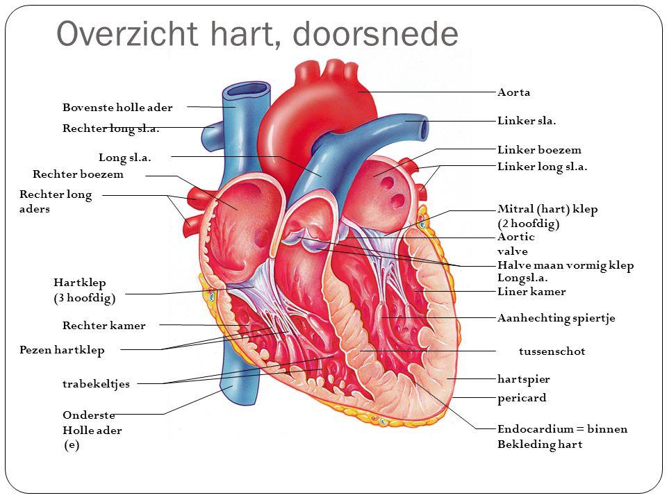 Overzicht hart, doorsnede (e) Bovenste holle ader Rechter long sl.a. Long sl.a. Rechter boezem Rechter long aders Hartklep (3 hoofdig) Rechter kamer P
