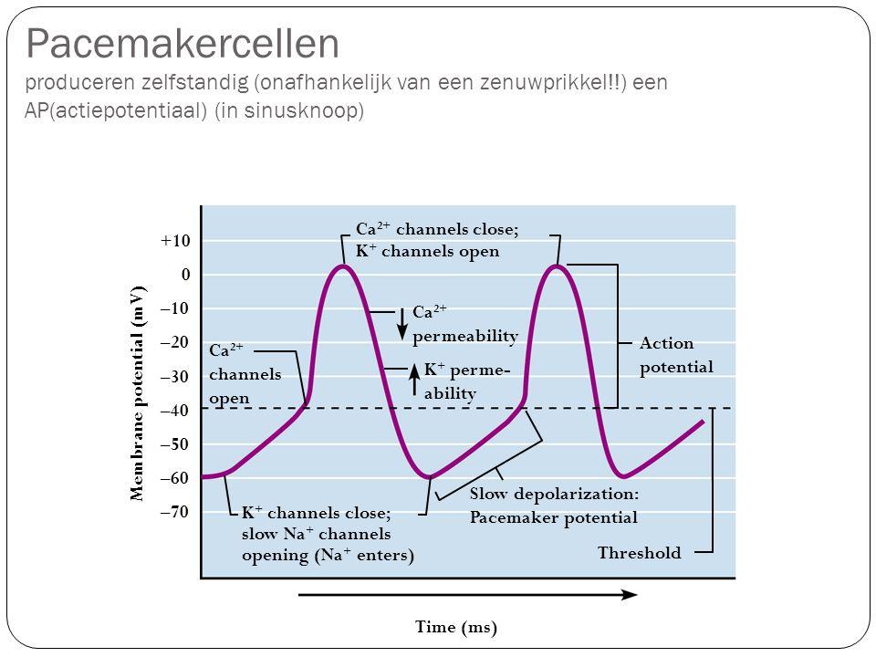 Pacemakercellen produceren zelfstandig (onafhankelijk van een zenuwprikkel!!) een AP(actiepotentiaal) (in sinusknoop) Action potential Threshold K + c