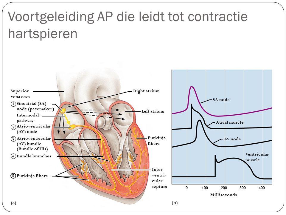 Voortgeleiding AP die leidt tot contractie hartspieren Milliseconds (b) 0100200300400 Sinoatrial (SA) node (pacemaker) Atrioventricular (AV) node Inte
