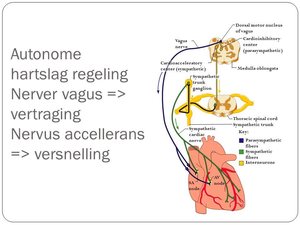 Autonome hartslag regeling Nerver vagus => vertraging Nervus accellerans => versnelling Key: Thoracic spinal cord Vagus nerve Cardioinhibitory center