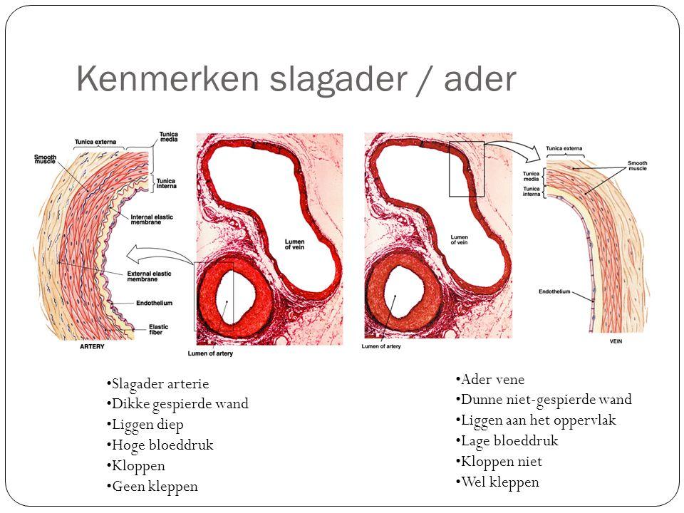 Kenmerken slagader / ader Slagader arterie Dikke gespierde wand Liggen diep Hoge bloeddruk Kloppen Geen kleppen Ader vene Dunne niet-gespierde wand Li