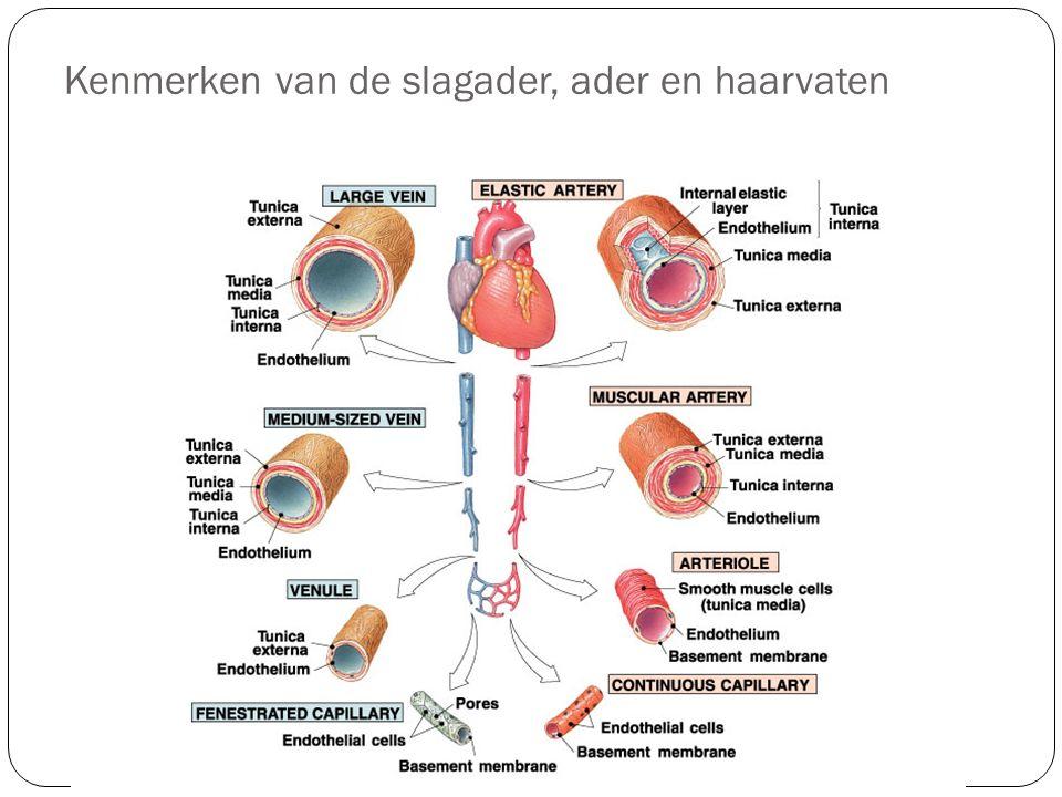 Kenmerken van de slagader, ader en haarvaten