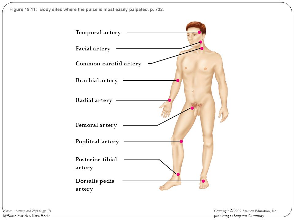 Human Anatomy and Physiology, 7e by Elaine Marieb & Katja Hoehn Copyright © 2007 Pearson Education, Inc., publishing as Benjamin Cummings. Figure 19.1