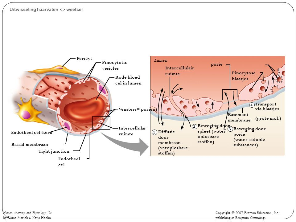 Human Anatomy and Physiology, 7e by Elaine Marieb & Katja Hoehn Copyright © 2007 Pearson Education, Inc., publishing as Benjamin Cummings. Uitwisselin