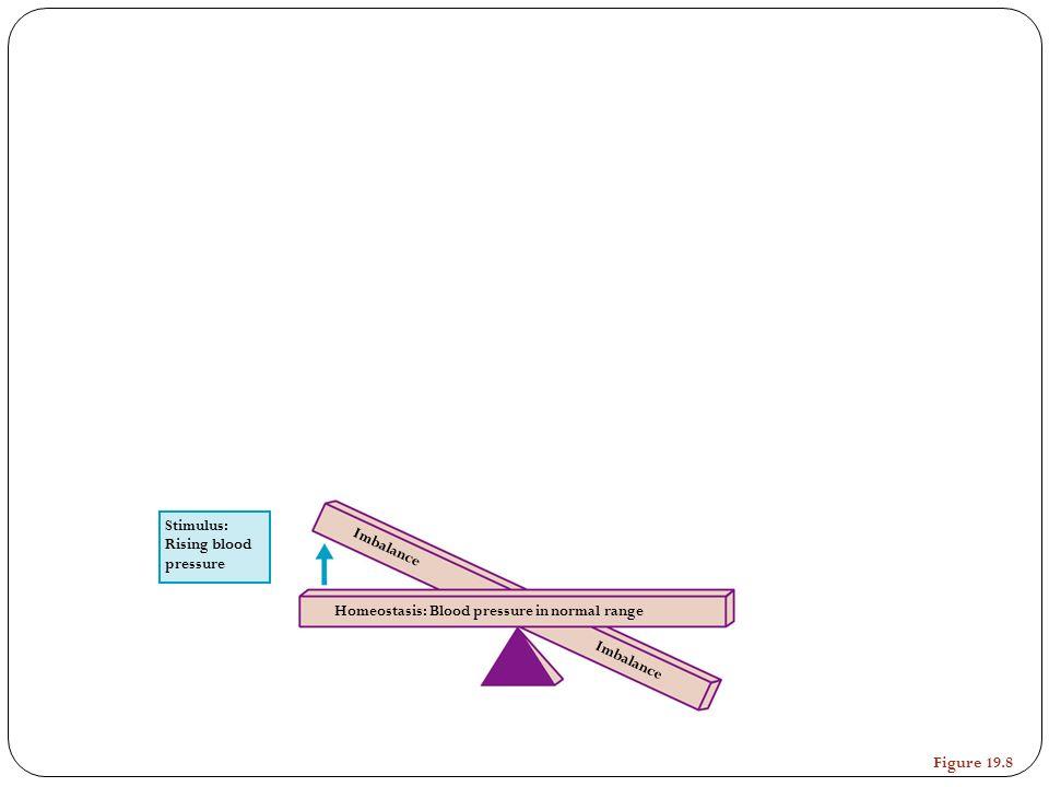 Stimulus: Rising blood pressure Homeostasis: Blood pressure in normal range Imbalance Figure 19.8