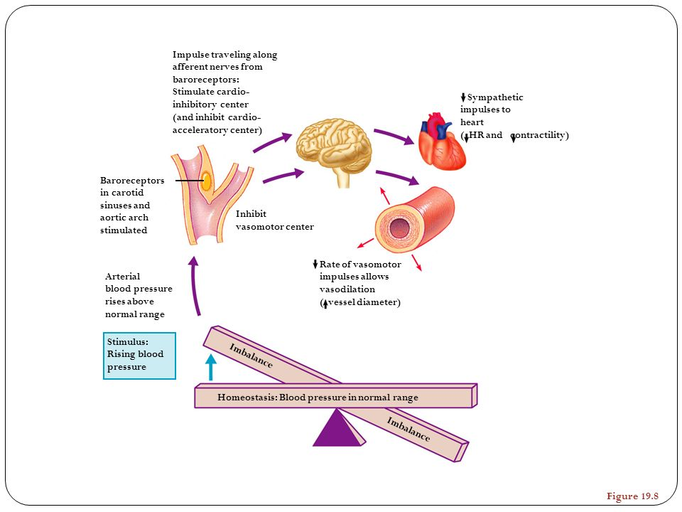 Stimulus: Rising blood pressure Homeostasis: Blood pressure in normal range Baroreceptors in carotid sinuses and aortic arch stimulated Arterial blood