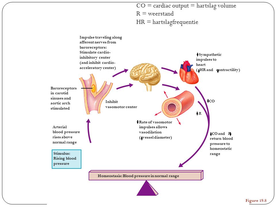 Stimulus: Rising blood pressure Homeostasis: Blood pressure in normal range Baroreceptors in carotid sinuses and aortic arch stimulated Arterial blood pressure rises above normal range Impulse traveling along afferent nerves from baroreceptors: Stimulate cardio- inhibitory center (and inhibit cardio- acceleratory center) Rate of vasomotor impulses allows vasodilation ( vessel diameter) Sympathetic impulses to heart ( HR and contractility) R CO CO and R return blood pressure to homeostatic range Inhibit vasomotor center Figure 19.8 CO = cardiac output = hartslag volume R = weerstand HR = hartslagfrequentie