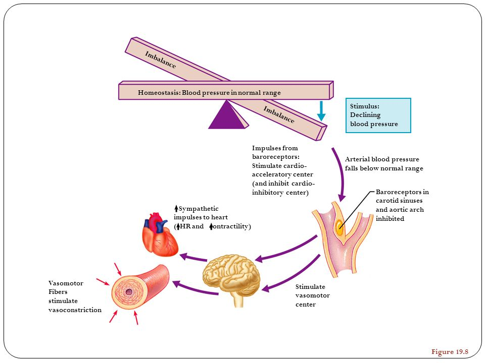 Vasomotor Fibers stimulate vasoconstriction Stimulate vasomotor center Sympathetic impulses to heart ( HR and contractility) Impulses from barorecepto