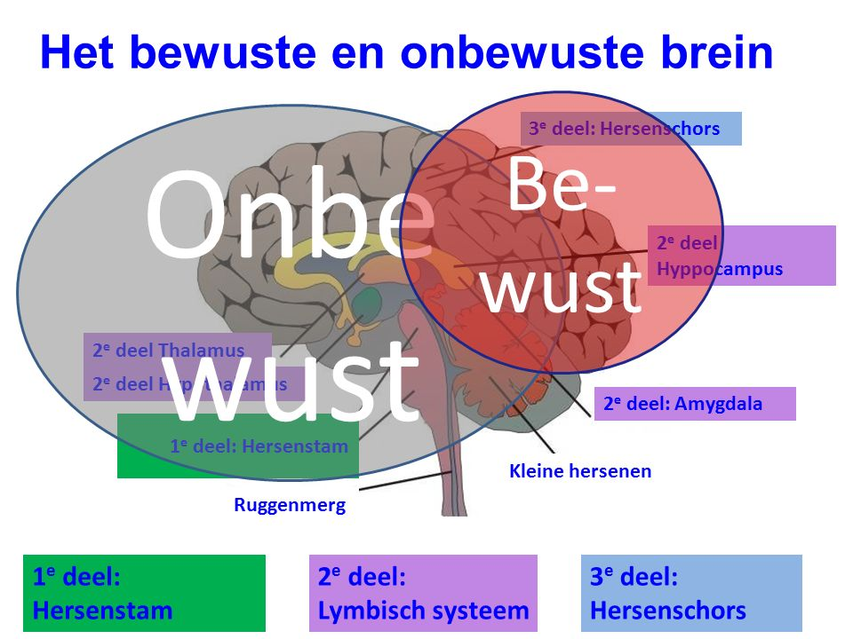 Het bewuste en onbewuste brein 3 e deel: Hersenschors Kleine hersenen 2 e deel: Amygdala 1 e deel: Hersenstam Ruggenmerg 2 e deel Hyppocampus 2 e deel