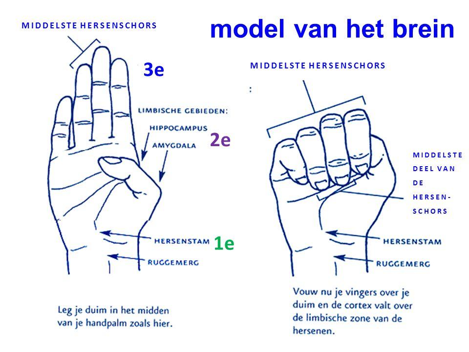 model van het brein 1e 2e 3e MIDDELSTE HERSENSCHORS MIDDELSTE DEEL VAN DE HERSEN- SCHORS