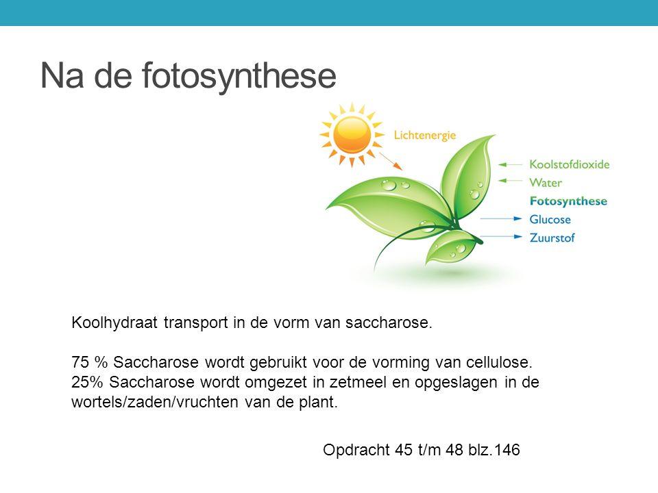 Na de fotosynthese Koolhydraat transport in de vorm van saccharose. 75 % Saccharose wordt gebruikt voor de vorming van cellulose. 25% Saccharose wordt