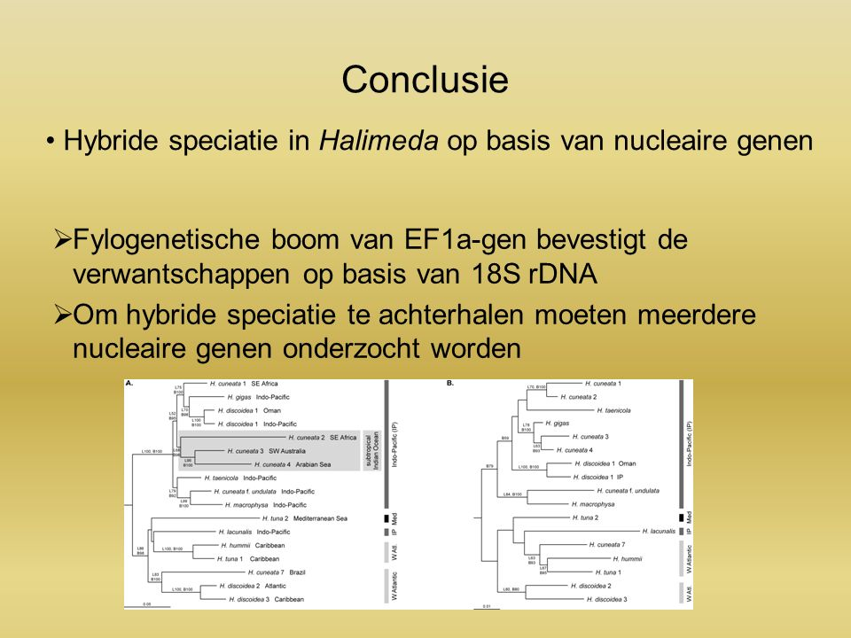 Conclusie  Fylogenetische boom van EF1a-gen bevestigt de verwantschappen op basis van 18S rDNA  Om hybride speciatie te achterhalen moeten meerdere nucleaire genen onderzocht worden Hybride speciatie in Halimeda op basis van nucleaire genen