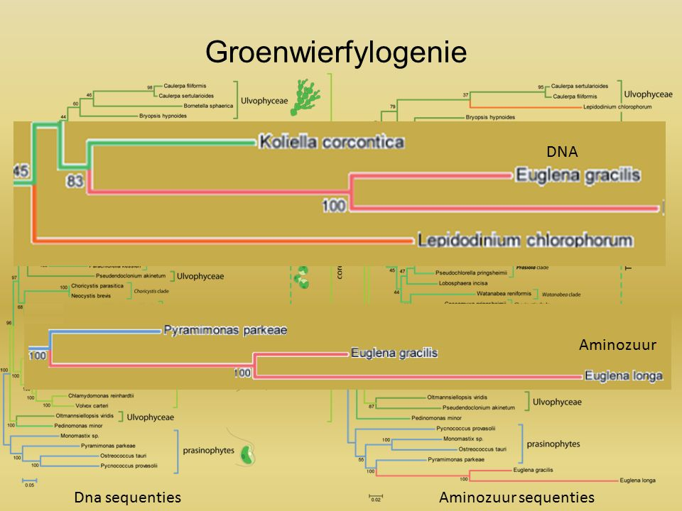 Groenwierfylogenie Dna sequentiesAminozuur sequenties DNA Aminozuur