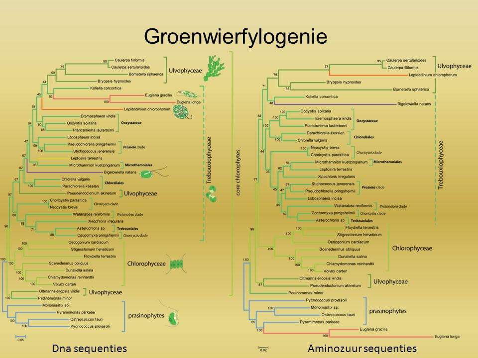 Groenwierfylogenie Dna sequentiesAminozuur sequenties