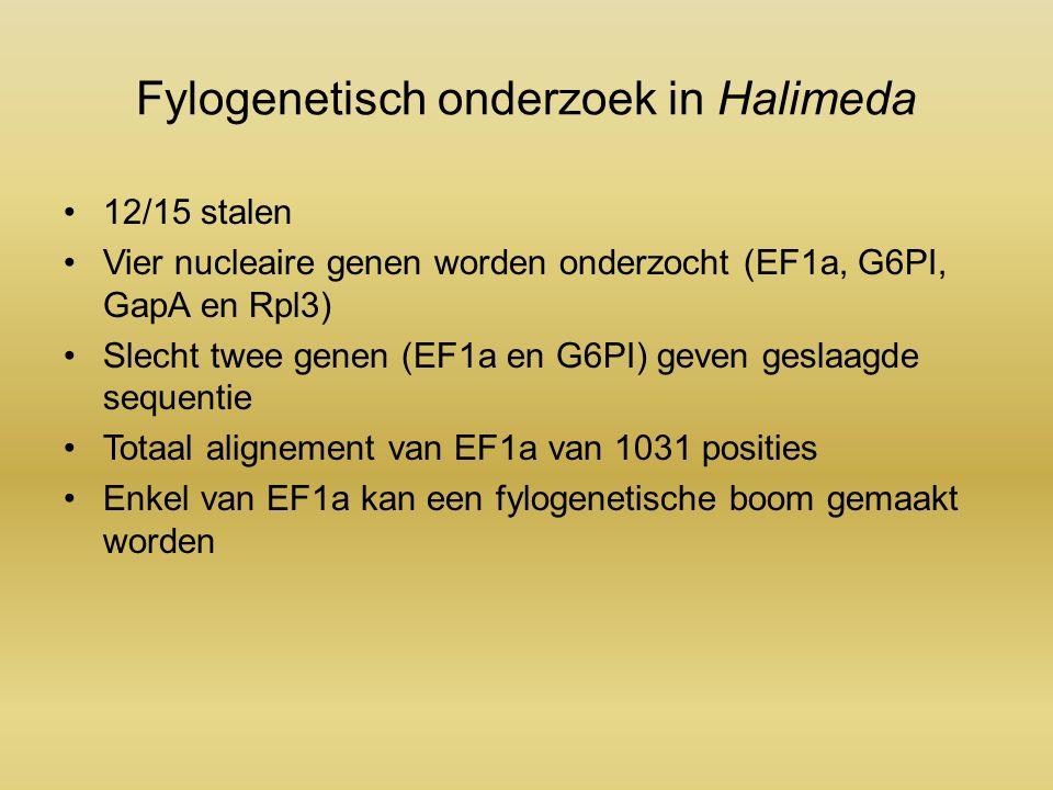 Fylogenetisch onderzoek in Halimeda 12/15 stalen Vier nucleaire genen worden onderzocht (EF1a, G6PI, GapA en Rpl3) Slecht twee genen (EF1a en G6PI) geven geslaagde sequentie Totaal alignement van EF1a van 1031 posities Enkel van EF1a kan een fylogenetische boom gemaakt worden