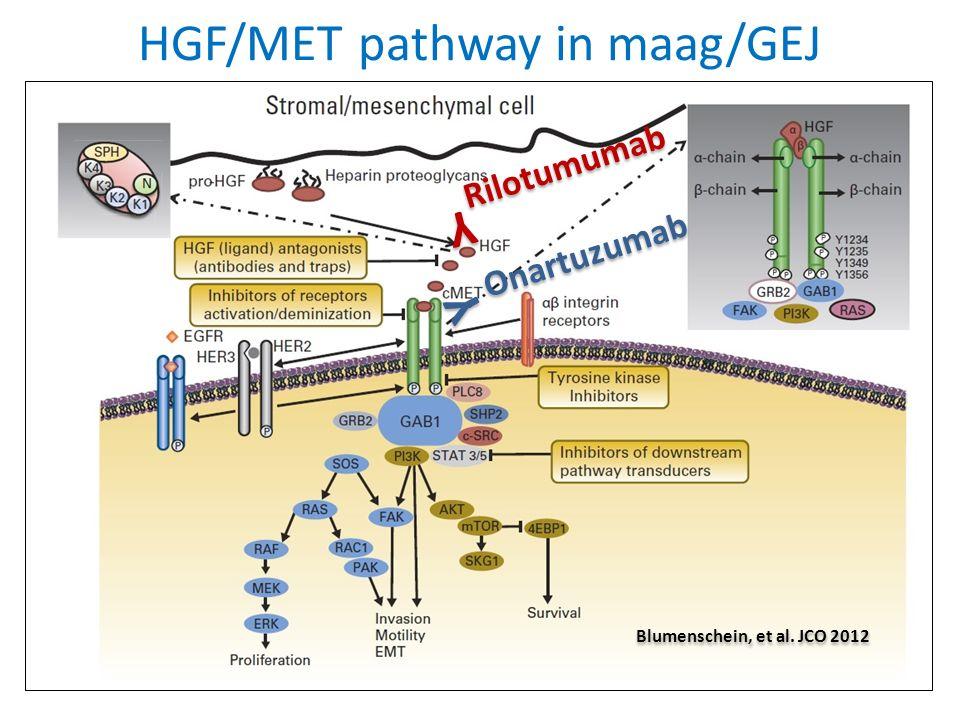 HGF/MET pathway in maag/GEJ Y Y Rilotumumab Y Y Onartuzumab Blumenschein, et al. JCO 2012