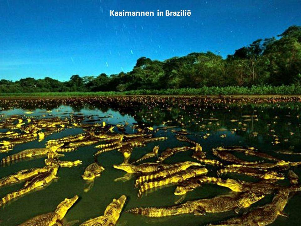 Kaaimannen in Brazilië