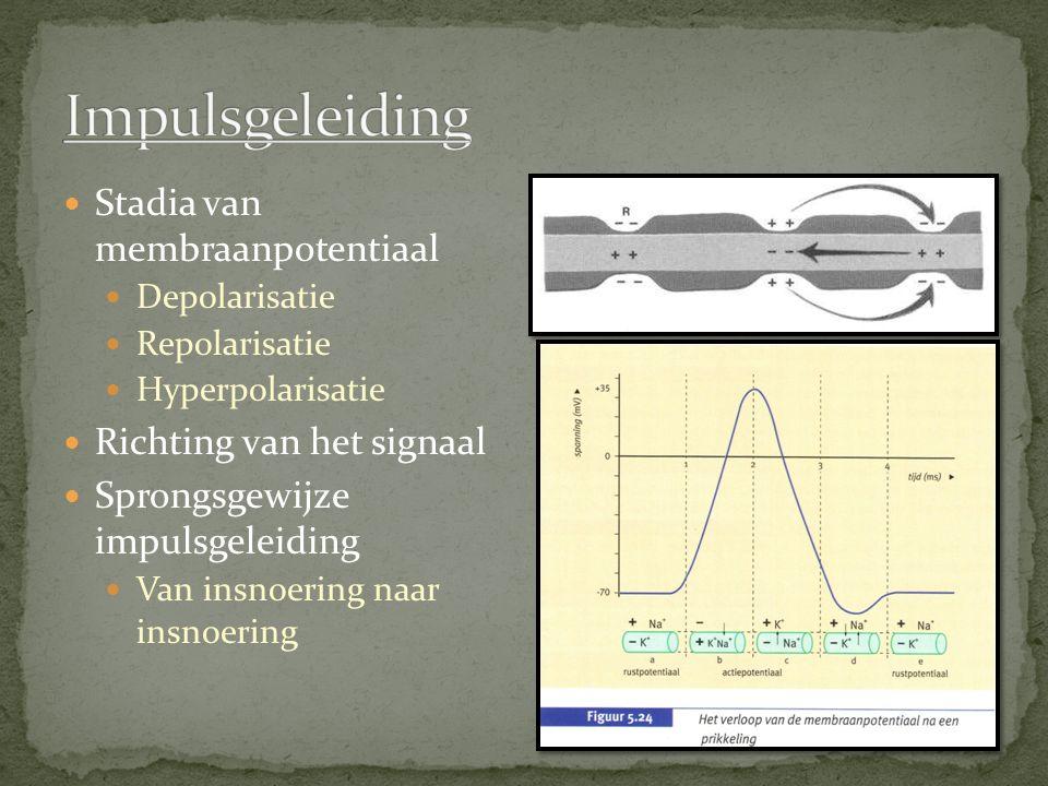 Stadia van membraanpotentiaal Depolarisatie Repolarisatie Hyperpolarisatie Richting van het signaal Sprongsgewijze impulsgeleiding Van insnoering naar insnoering