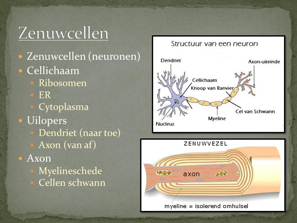 Zenuwcellen (neuronen) Cellichaam Ribosomen ER Cytoplasma Uilopers Dendriet (naar toe) Axon (van af) Axon Myelineschede Cellen schwann