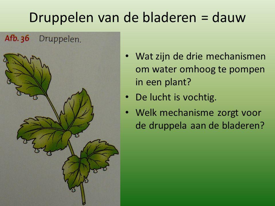 Druppelen van de bladeren = dauw Wat zijn de drie mechanismen om water omhoog te pompen in een plant.