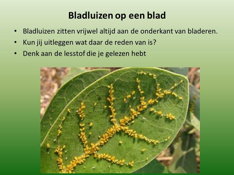 Bladluizen op een blad Bladluizen zitten vrijwel altijd aan de onderkant van bladeren.