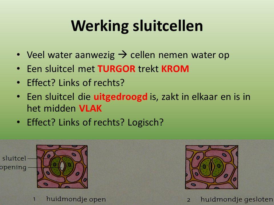 Werking sluitcellen Veel water aanwezig  cellen nemen water op Een sluitcel met TURGOR trekt KROM Effect.