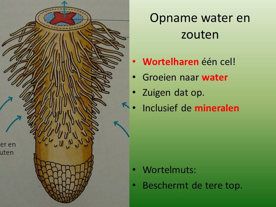 Opname water en zouten Wortelharen één cel. Groeien naar water Zuigen dat op.